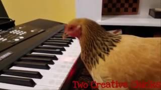 Lần đầu thấy chuyện ấy... thật thích thú - Patriotic-chicken-playing-keyboard-piano.