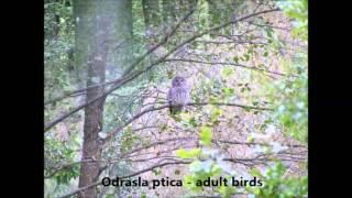 Jastrebača (Strix uralensis) – Stanarica Bilogore (Hrvatska)
