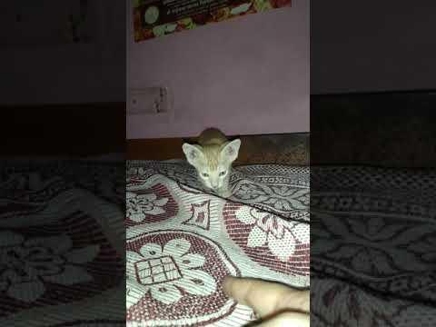 🐈cute cat Mau's pillu🐱😺 kitten playing❣😎 cute little kitten🐈😍🤭