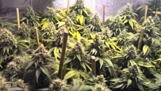Genesis 600 watt HPS Grow Light in Garden- start of week 7 Fucking Incredible Buds Genesis Best HPS