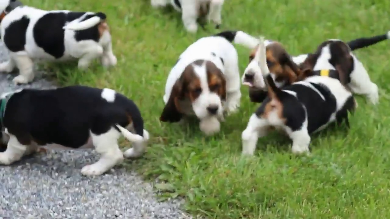 Bassett Hound Puppies For Sale Youtube