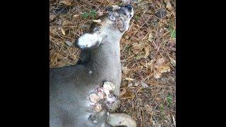 GRAPHIC Tumors on Deer :WARNING