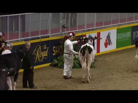 National Holstein Show Royal Fair 2016