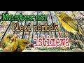 Masteran Pleci Nembak Bertubi Tubi  Mp3 - Mp4 Download