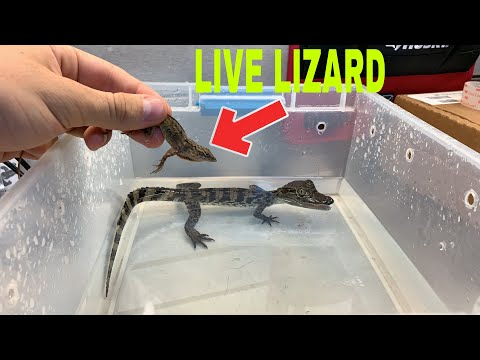 FEEDING LIVE LIZARD TO PET CAIMAN GOES HORRIBLY WRONG!