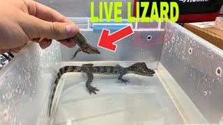 FEEDING LIVE LIZARD TO CAIMAN GOES HORRIBLY WRONG!