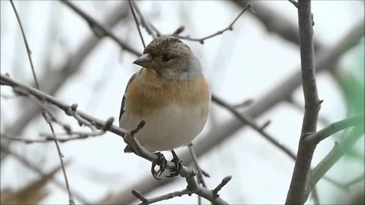 Oiseaux de mon jardin plus de 10 esp ces mettre le son for Oiseaux des jardins