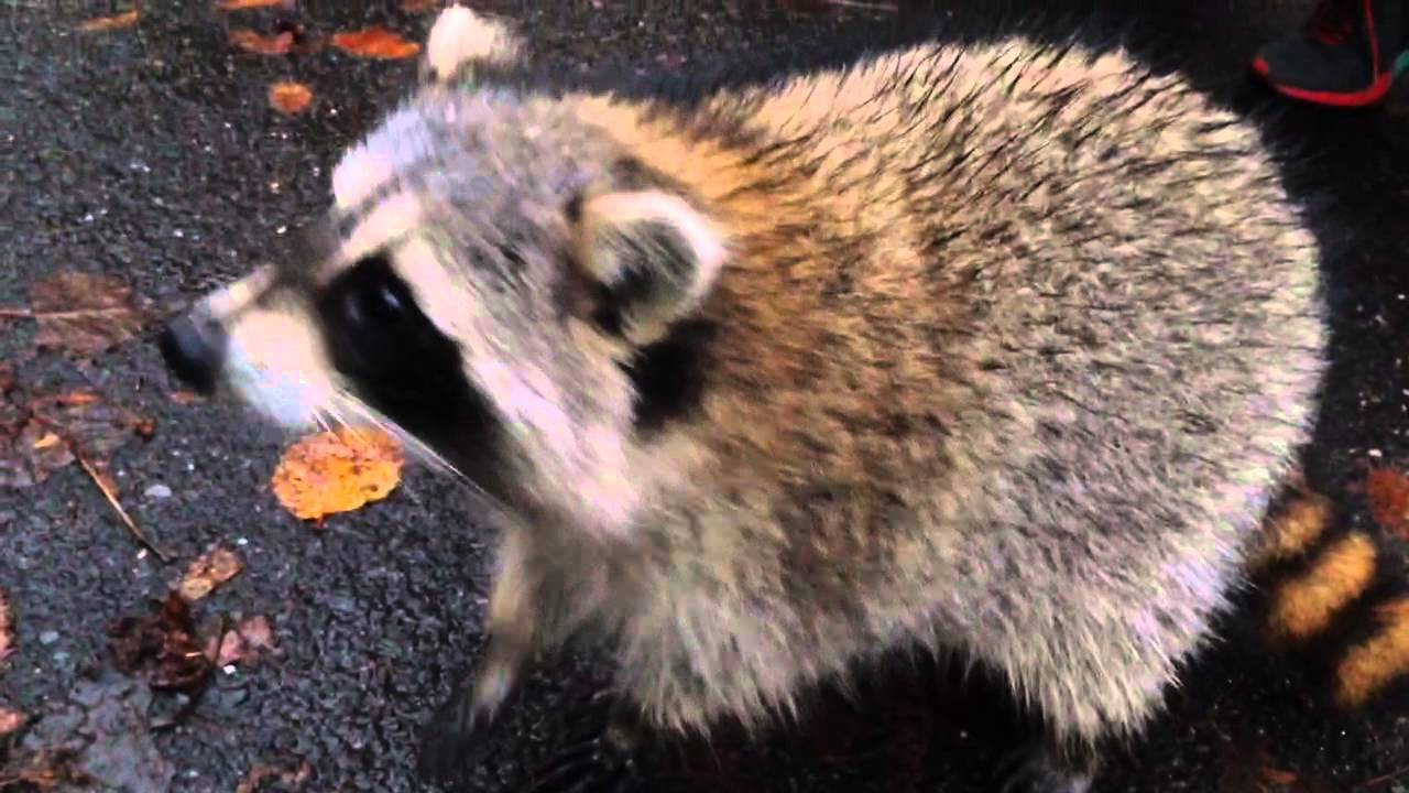 friendly raccoon at central park nyc youtube