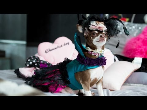 Britain's Most Pampered Chihuahua