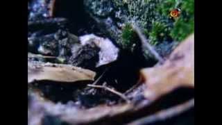 BBC Бессмертная саламандра