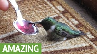 Woman rescues dying hummingbird