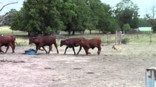 Spader Vintage Vaquero | Akc Working Australian Cattle Dog (red Heeler)