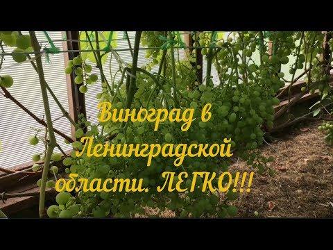 СОРТА ВИНОГРАДОВ | Виноград В Ленинградской Области.
