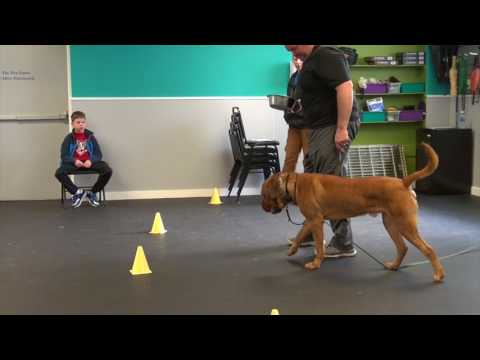 Fear Aggressive Mastiff Rehabilitation Finished