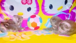 Вислоухие котята || Шотландские котята играются || Питомник Донецк