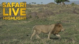 Rising Tempers: Male Lion Chases After Another Male