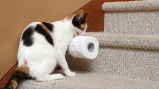 Cat Carries Toilet Paper Upstairs