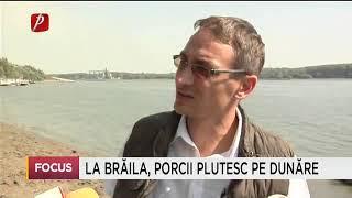 La Brăila, porcii plutesc pe Dunăre
