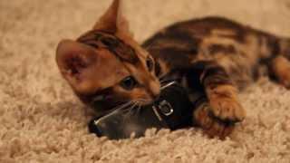 Бенгальский котенок Лектор играет с телефоном