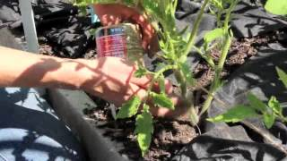 How To Trellis Tomatoes With The Florida Weave