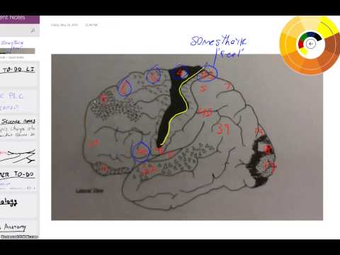 Brodmann Areas Overview 1