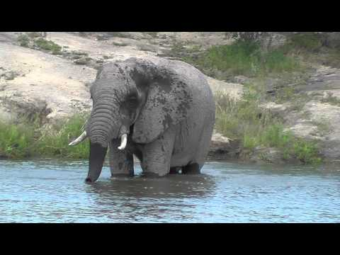 Elephant Swimming At Ulusaba Tree House Dam
