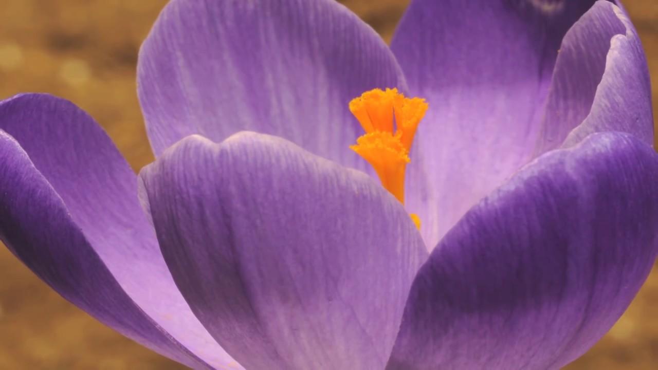 Crocus Vernus Flower Time Lapse Youtube