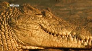 Гиганты мира животных.  Самый большой крокодил.