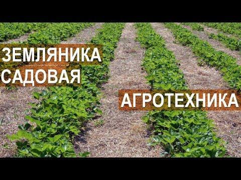 Земляника садовая. Агротехника. Клубничная ферма Лесниченко.