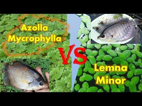Perbandingan & Ulasan Lengkap Azolla Mycrophylla Dan Lemna Minor (Duckweed)