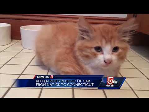 Kitten rides in hood of car from Natick to Conn.