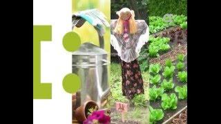 Как правильно сажать капусту. Голова садовая