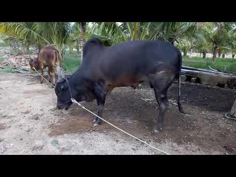 Venthan kangayam cattle farm muthur