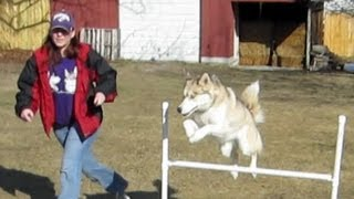 How To Make Dog Agility Jumps For Practice -  Build Your Own Equipment - Siberian Husky
