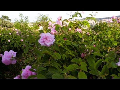 Artisanat : l'incomparable parfum des roses de Grasse