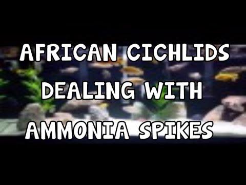AMMONIA SPIKE│AFRICAN CICHLIDS