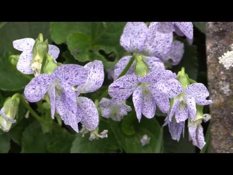 Violoa sororia - Pfingst-Veilchen, Common Blue Violet