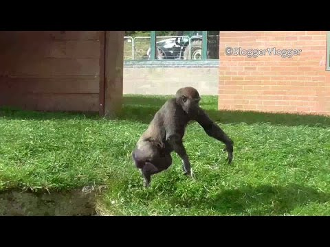 Gorilla Youngster Rolls Himself Down A Slope