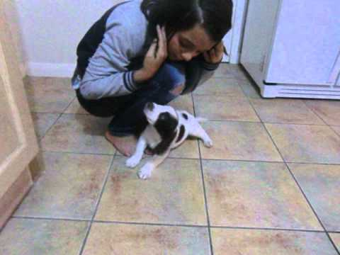 Toby's first day home - English Springer Spaniel, 8 weeks old
