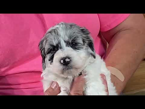 Diva's Schnoodle puppies 4 weeks old July 14, 2020