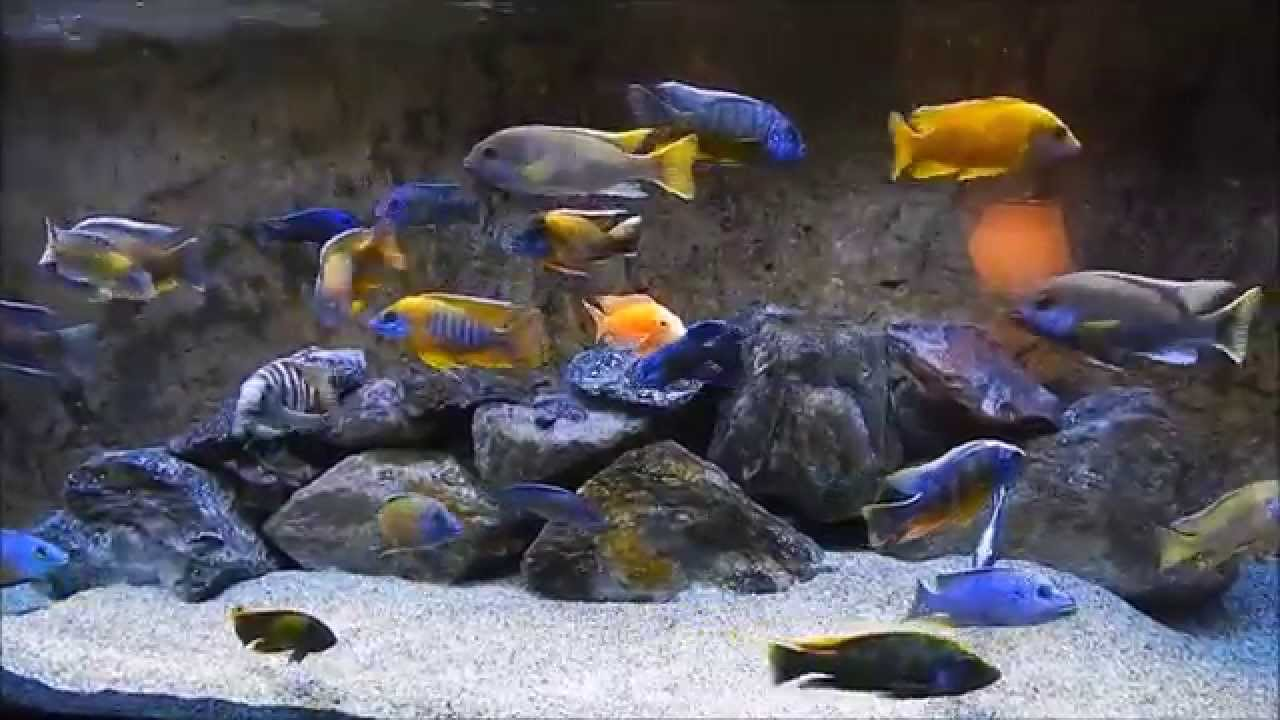World 39 s greatest relaxing african cichlid aquarium youtube for Cichlid fish tank