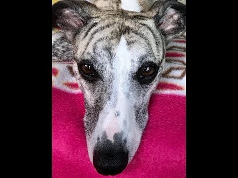 Louie (The Whippet) Day Out Newport Parrog Wales