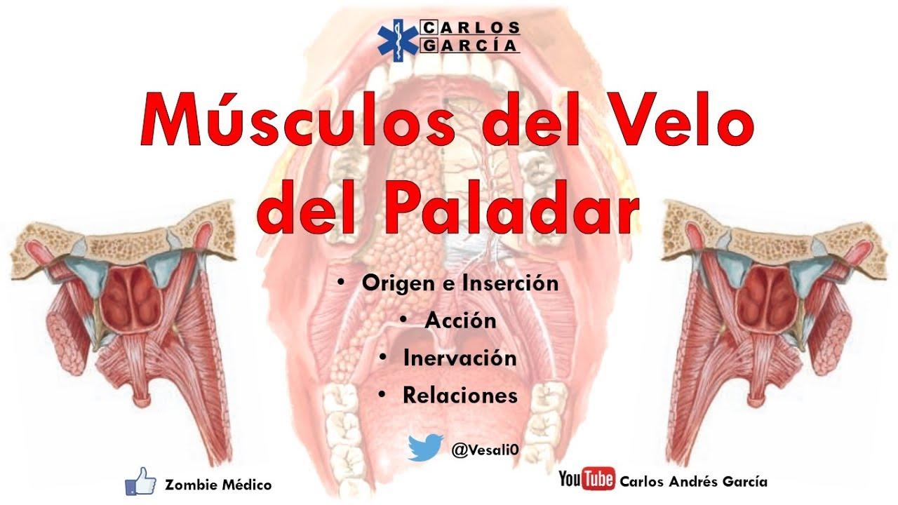 Anatomía - Músculos del Velo del Paladar (Origen, Inserción, Acción ...