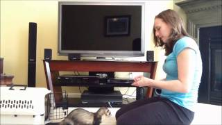 Ferret Training 205: Teaching your ferret to come when called