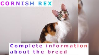 Cornish Rex. Pros and Cons, Price, How to choose, Facts, Care, History Rex