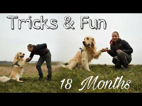 18 Months Tricks & Fun [Golden Retriever Caesar]