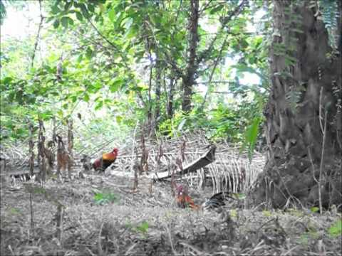 Wild Red Jungle Fowl publishing3 YouTube