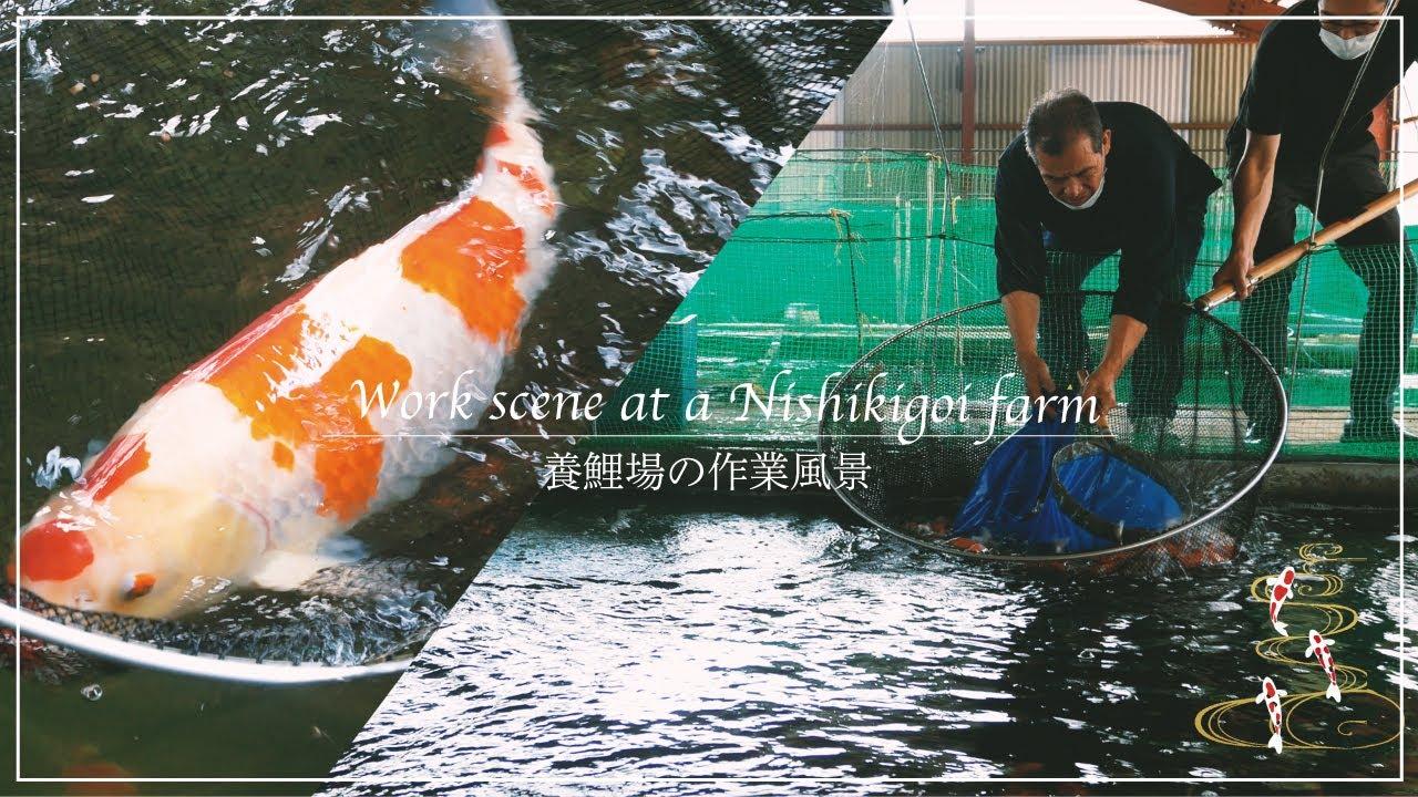 Work scene at a Nishikigoi farm. 養鯉場の作業風景【錦鯉】