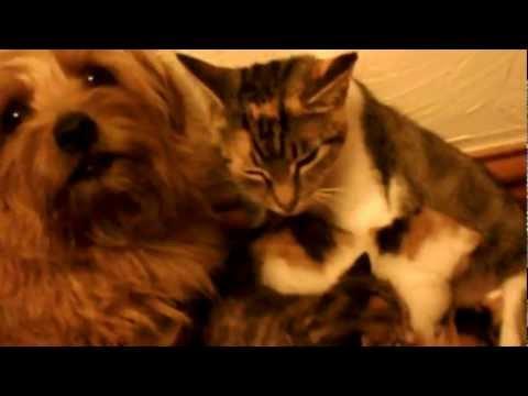 Brandy - norfolk terrier dog helping clio with her kittens