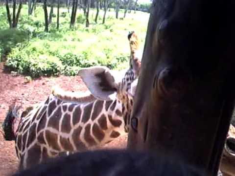 Giraffes at Langata Giraffe Center
